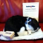 B&W Shorthair Cat 1
